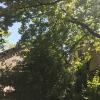 H1 Baum droht umzustürzen 05 2018-08-11